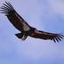 Adult in flight (picture taken in California)