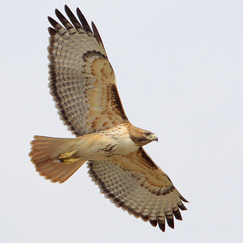 Adult (light morph). Note: dark leading edge to wing.